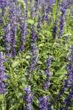 L'image de plan rapproché de la lavande violette fleurit dans le domaine dans le jour ensoleillé photo stock