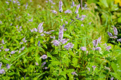 L'image de plan rapproché de la lavande violette fleurit dans le domaine dans le jour ensoleillé photographie stock libre de droits