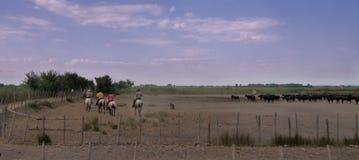 L'image de tache floue du cowboy sépare le taureau de Camargue du troupeau d Photos libres de droits