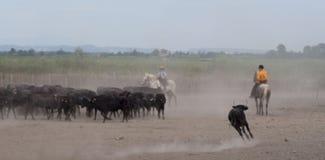 L'image de tache floue du cowboy sépare le taureau de Camargue du troupeau d Photos stock