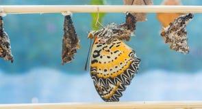 l'image des chrysalides de papillon accrochent sur le bâton en bois Images libres de droits