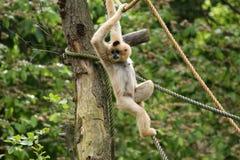 L'image du petit singe pelucheux Photos stock