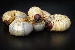 L'image du ver worms, scarabée de rhinocéros de noix de coco photographie stock libre de droits