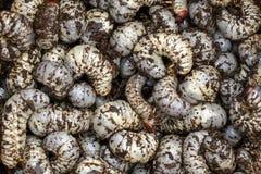 L'image du ver worms, scarabée de rhinocéros de noix de coco photos libres de droits