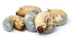 L'image du ver worms, scarabée de rhinocéros de noix de coco photos stock