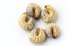 L'image du ver worms, scarabée de rhinocéros de noix de coco photo stock