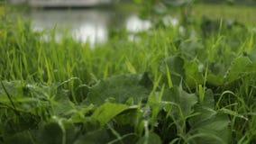L'image en gros plan de détail de l'herbe avec de l'eau chute banque de vidéos