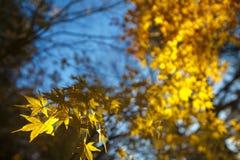 L'image fortement détaillée de l'érable jaune d'automne laisse le focu très peu profond photo stock