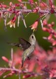 L'image verticale du colibri mangeant du yucca rouge fleurit Photographie stock libre de droits