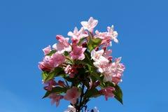 L'imbuto di Rosea del Weigela ha modellato i fiori e le foglie verdi rosa sul fondo del cielo blu Fotografia Stock Libera da Diritti