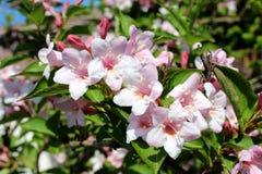 L'imbuto di Rosea del Weigela ha modellato i fiori rosa sul fondo verde chiaro delle foglie Fotografia Stock Libera da Diritti