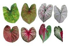 L'immaginazione a forma di cuore ha coperto di foglie raccolta variegata Caladium, il TR immagini stock libere da diritti