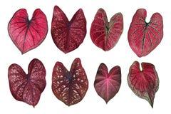 L'immaginazione a forma di cuore ha coperto di foglie raccolta rossa del Caladium, il tropicale fotografia stock libera da diritti