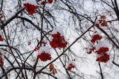 L'immagine con le bacche di sorbo rosse luminose sotto la neve Immagini Stock