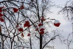 L'immagine con le bacche di sorbo rosse luminose sotto la neve Fotografie Stock Libere da Diritti
