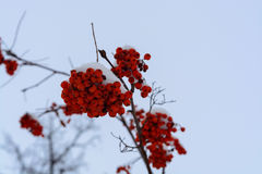 L'immagine con le bacche di sorbo rosse luminose sotto la neve Fotografia Stock Libera da Diritti