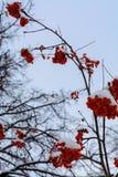 L'immagine con le bacche di sorbo rosse luminose sotto la neve Immagini Stock Libere da Diritti