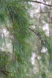 L'immagine del primo piano di goccia di rugiada sul pino va Fotografie Stock Libere da Diritti