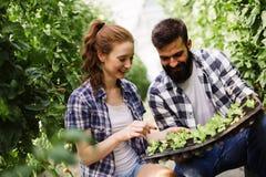 L'immagine delle coppie della piantina degli agricoltori germoglia in giardino Fotografia Stock