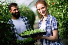 L'immagine delle coppie della piantina degli agricoltori germoglia in giardino Immagini Stock