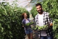 L'immagine delle coppie della piantina degli agricoltori germoglia in giardino Fotografia Stock Libera da Diritti