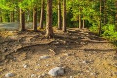 L'immagine di HDR dei pini sulla roccia. Fotografia Stock Libera da Diritti