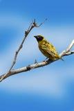 Uccello maschio del tessitore del capo sul ramo morto Immagini Stock