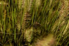 L'immagine di una farfalla marrone, che si siede su un gambo di erba fotografia stock libera da diritti
