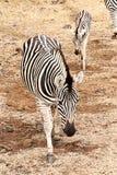 Zebra femminile ed i suoi giovani Immagine Stock