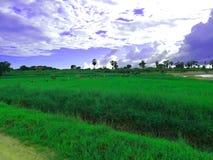 L'immagine impressionante della risaia fotografia stock libera da diritti