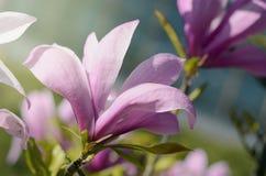 L'immagine morbida del fuoco di bella magnolia rosa fiorisce nell'ambito della luce del sole Fondo di stagione primaverile Fotografia Stock