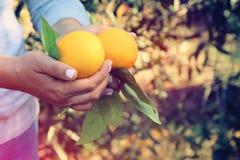 L'immagine rurale di una donna seleziona le arance nell'agrumeto Foto filtrata annata immagine stock