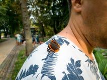 L'immagine tonificata primo piano di bella farfalla che si siede sopra equipaggia la spalla fotografia stock