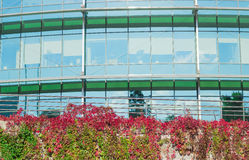 L'immeuble de bureaux et le mur ont couvert l'automne de plante grimpante de Virginie Photo libre de droits