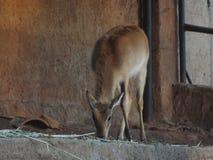 L'impala Africa Fotografia Stock Libera da Diritti