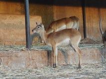 L'impala Africa Fotografie Stock