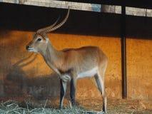 L'impala Africa Immagine Stock