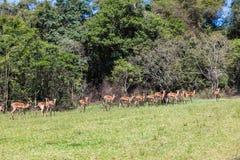 L'impala oppose le troupeau de Wildife Photo libre de droits