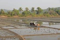 L'Inde, GOA, le 19 janvier 2018 Les travailleurs de sexe masculin labourent le gisement de riz avec des charrues et des taureaux  images libres de droits