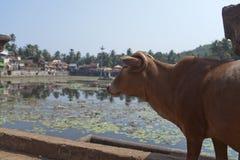 l'Inde Gokarna Vache sacr?e ? un r?servoir sacr? photo stock