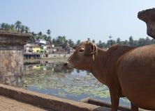 L'India Gokarna Vacca sacra ad un bacino idrico sacro fotografie stock libere da diritti