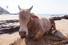 L'India, una mucca sulla spiaggia fotografie stock