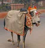 L'India - vacca sacra Fotografie Stock Libere da Diritti