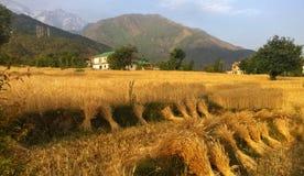 L'indiano organico del raccolto dorato del grano che coltiva la neve a distanza alza l'Himalaya verticalmente Fotografia Stock