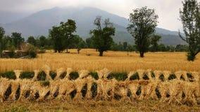 L'indiano organico del raccolto dorato del grano che coltiva la neve a distanza alza l'Himalaya verticalmente Fotografia Stock Libera da Diritti