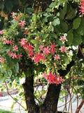 L'indicum de Combretum ou le chèvrefeuille ou la plante grimpante chinois de Rangoon fleurit images stock