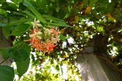 L'indicum rouge et blanc de Combretum fleurit sur le fond de ciel bleu photos libres de droits