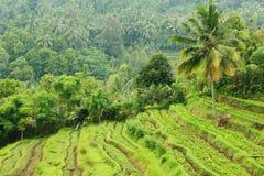 l'Indonésie, Bali, terrasses de riz Photos stock