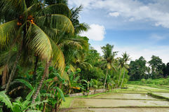 l'Indonésie, Bali, terrasses de riz Image stock