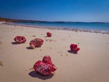 L'Indonesia - coralli rosa sulla spiaggia fotografia stock libera da diritti